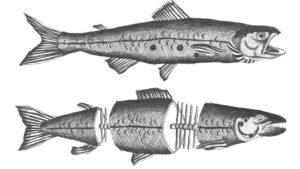 Due salmoni